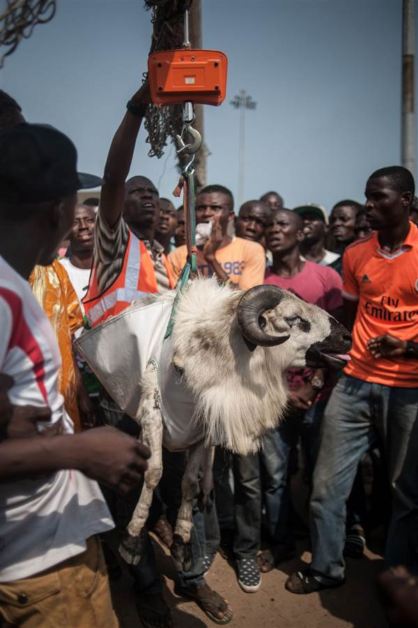 Spectators look on as a ram gets weighed before a match during a ram fighting competition at the National Stadium in Lagos on March 20. STEFAN HEUNIS / AFP - Getty Images